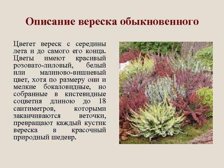 Описание вереска обыкновенного Цветет вереск с середины лета и до самого его конца. Цветы