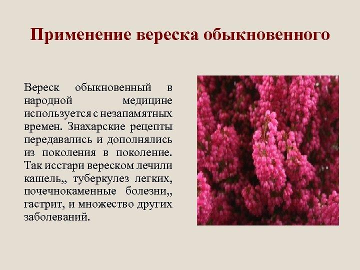 Применение вереска обыкновенного Вереск обыкновенный в народной медицине используется с незапамятных времен. Знахарские рецепты