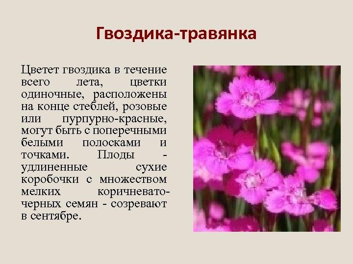 Гвоздика-травянка Цветет гвоздика в течение всего лета, цветки одиночные, расположены на конце стеблей, розовые