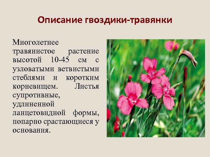Описание гвоздики-травянки Многолетнее травянистое растение высотой 10 -45 см с узловатыми ветвистыми стеблями и