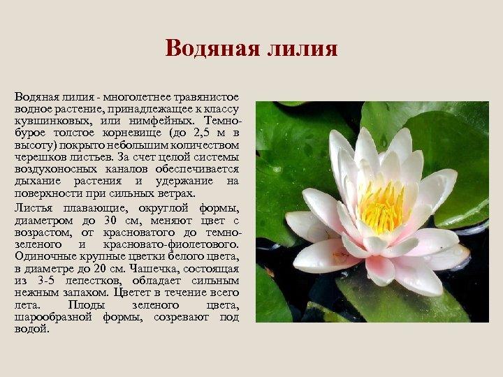 Водяная лилия - многолетнее травянистое водное растение, принадлежащее к классу кувшинковых, или нимфейных. Темнобурое
