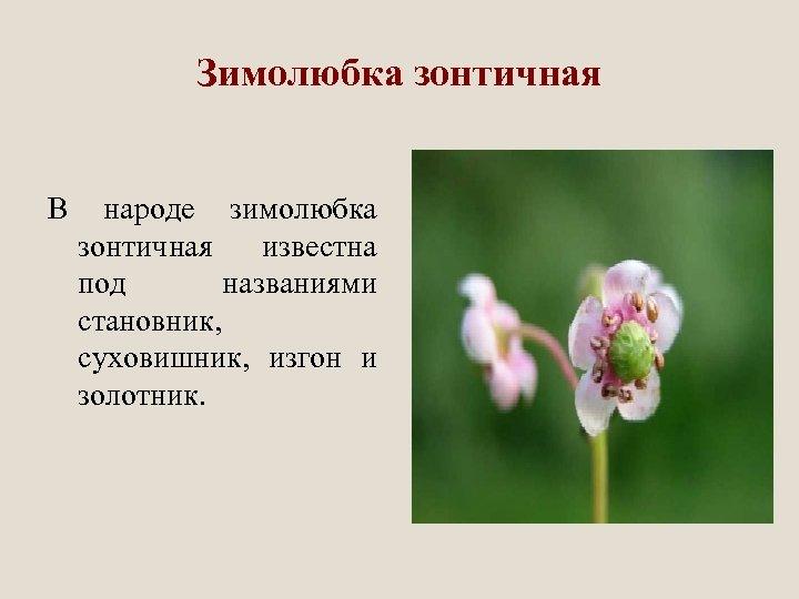 Зимолюбка зонтичная В народе зимолюбка зонтичная известна под названиями становник, суховишник, изгон и золотник.
