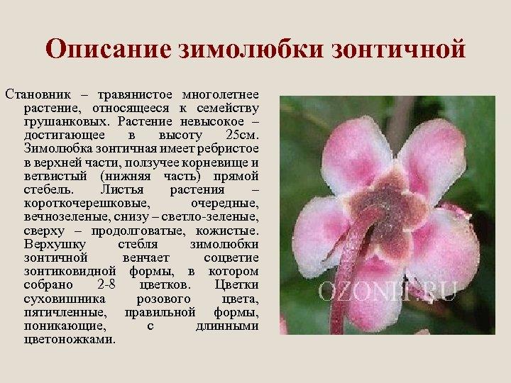 Описание зимолюбки зонтичной Становник – травянистое многолетнее растение, относящееся к семейству грушанковых. Растение невысокое