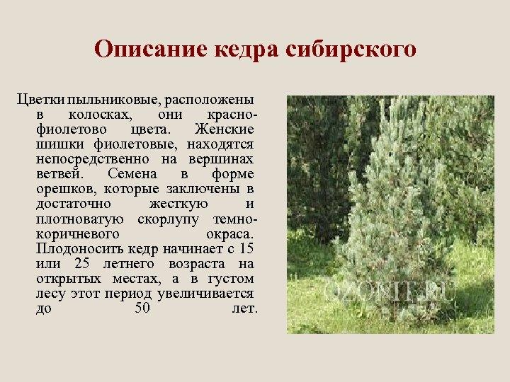 Описание кедра сибирского Цветки пыльниковые, расположены в колосках, они краснофиолетово цвета. Женские шишки фиолетовые,