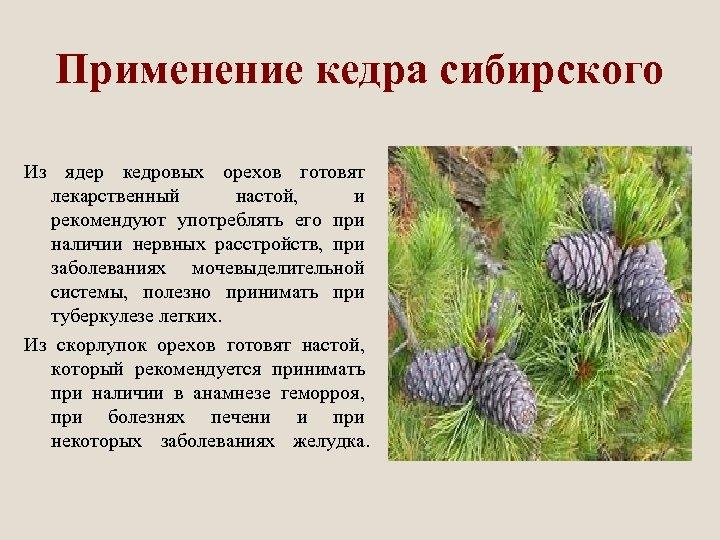 Применение кедра сибирского Из ядер кедровых орехов готовят лекарственный настой, и рекомендуют употреблять его