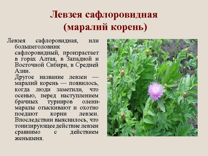 Левзея сафлоровидная (маралий корень) Левзея сафлоровидная, или большеголовник сафлоровидный, произрастает в горах Алтая, в