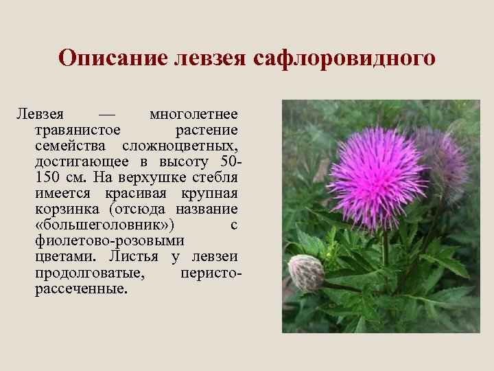 Описание левзея сафлоровидного Левзея — многолетнее травянистое растение семейства сложноцветных, достигающее в высоту 50150