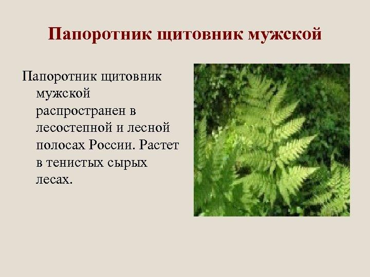 Папоротник щитовник мужской распространен в лесостепной и лесной полосах России. Растет в тенистых сырых