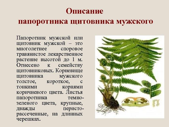 Описание папоротника щитовника мужского Папоротник мужской или щитовник мужской – это многолетнее споровое травянистое