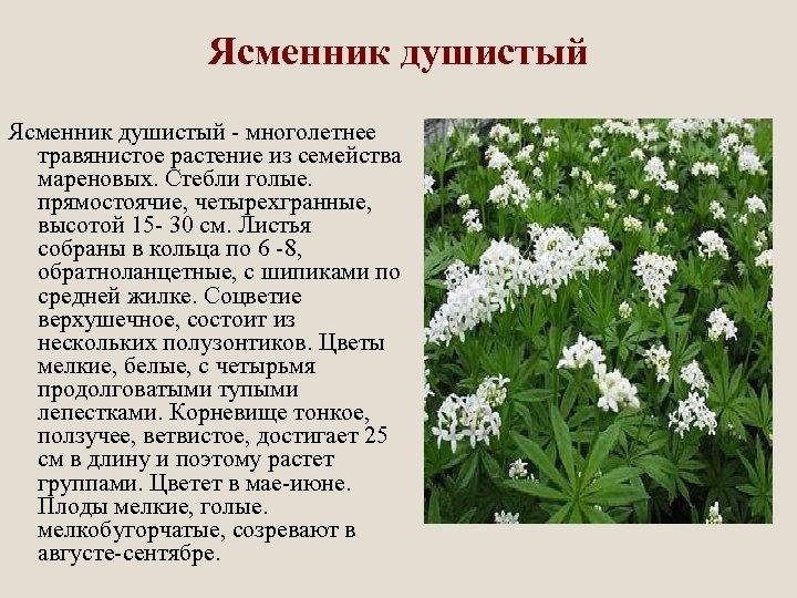 Ясменник душистый - многолетнее травянистое растение из семейства мареновых. Стебли голые. прямостоячие, четырехгранные, высотой