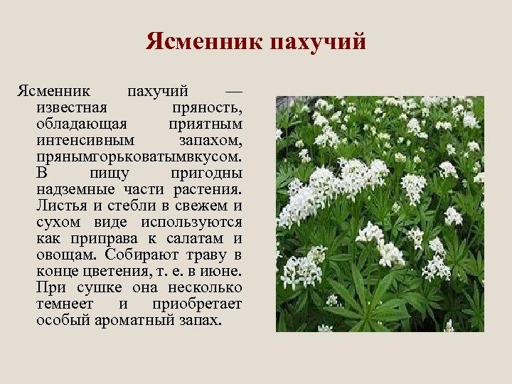 Ясменник пахучий — известная пряность, обладающая приятным интенсивным запахом, пряным орьковатым кусом. г в