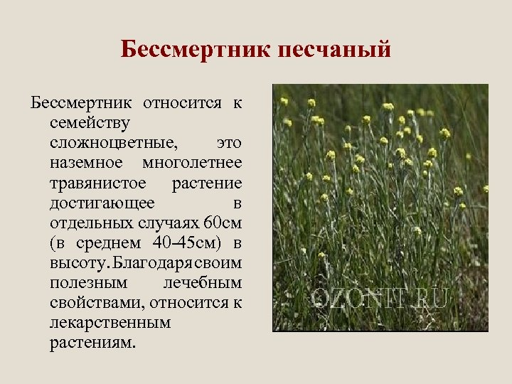 Бессмертник песчаный Бессмертник относится к семейству сложноцветные, это наземное многолетнее травянистое растение достигающее в
