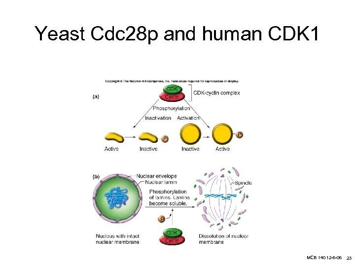Yeast Cdc 28 p and human CDK 1 MCB 140 12 -6 -06 23