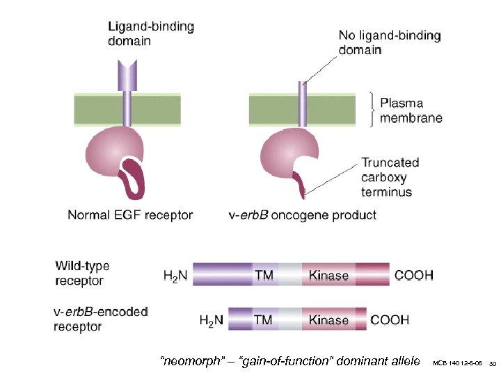 """neomorph"" – ""gain-of-function"" dominant allele MCB 140 12 -6 -06 30"