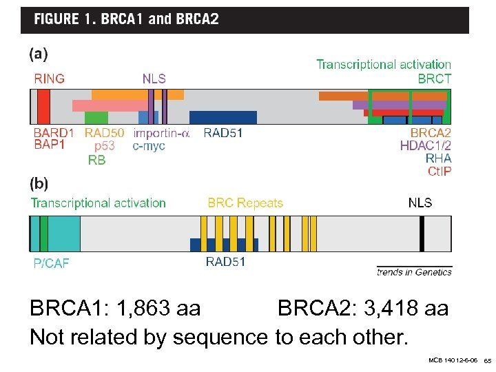 7 BRCA 1: 1, 863 aa BRCA 2: 3, 418 aa Not related by