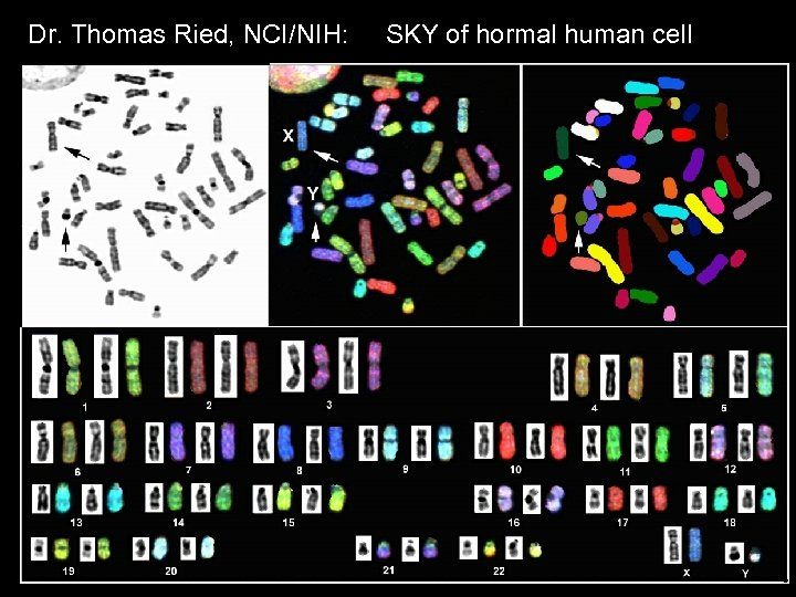 Dr. Thomas Ried, NCI/NIH: SKY of hormal human cell MCB 140 12 -6 -06