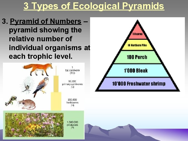 3 Types of Ecological Pyramids 3. Pyramid of Numbers – pyramid showing the relative