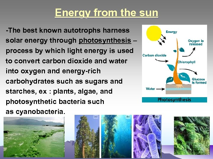 Energy from the sun -The best known autotrophs harness solar energy through photosynthesis –