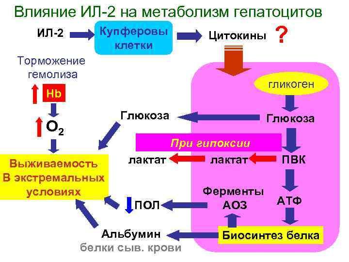 Влияние ИЛ 2 на метаболизм гепатоцитов Купферовы клетки ИЛ-2 Цитокины Торможение гемолиза гликоген Hb