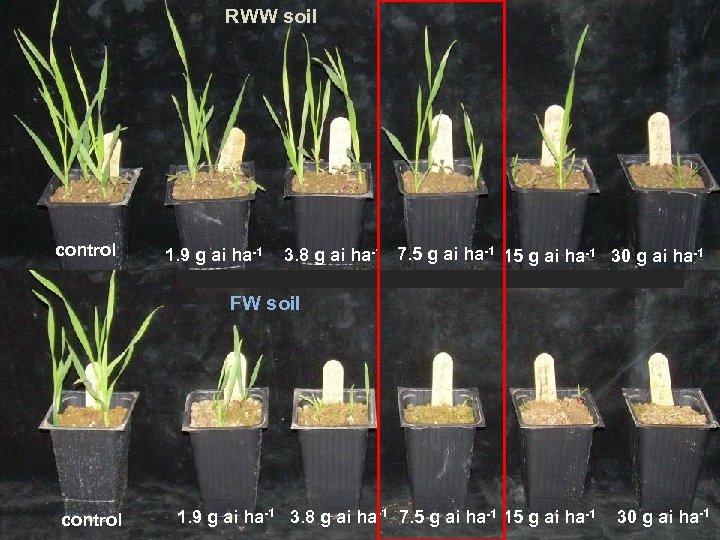 RWW soil control 1. 9 g ai ha-1 3. 8 g ai ha-1 7.