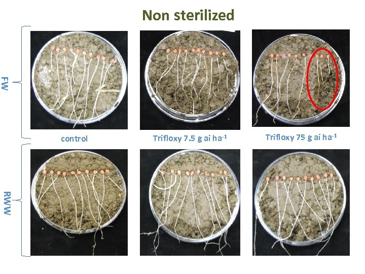 Non sterilized FW control Trifloxy 7. 5 g ai ha-1 Trifloxy 75 g ai