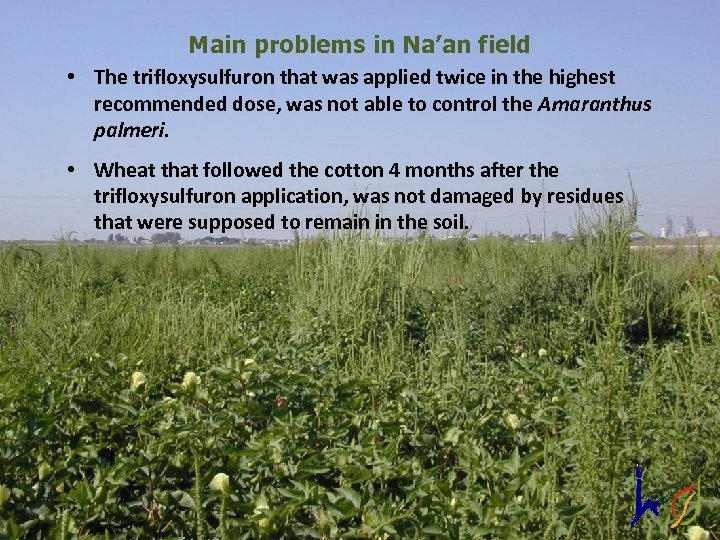 Main problems in Na'an field • The trifloxysulfuron that was applied twice in the