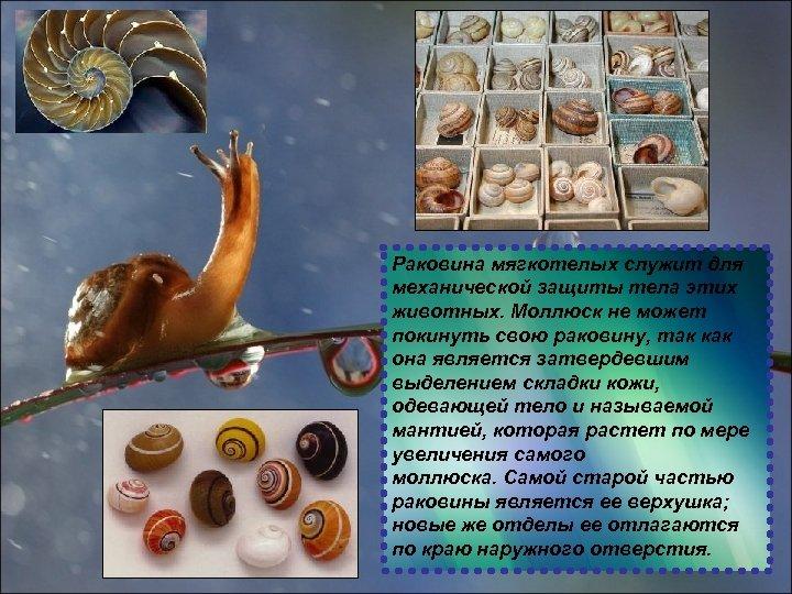 Раковина мягкотелых служит для механической защиты тела этих животных. Моллюск не может покинуть свою