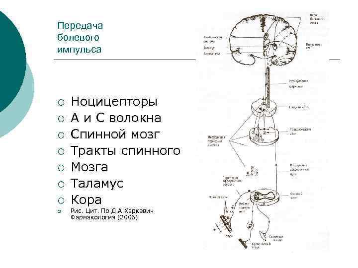 Передача болевого импульса ¡ ¡ ¡ ¡ Ноцицепторы А и С волокна Спинной мозг