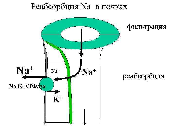 Реабсорбция Na в почках фильтрация + Na Na+ Na, K-АТФаза K+ Na+ реабсорбция