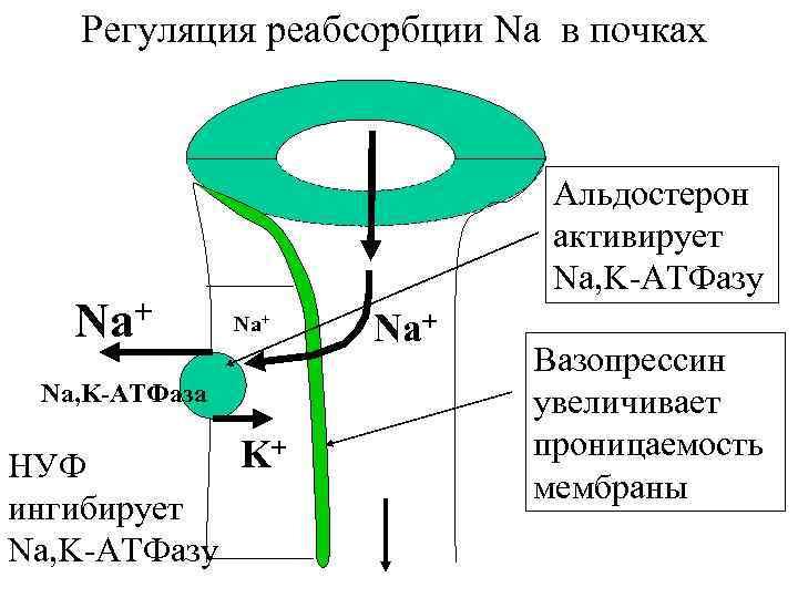 Регуляция реабсорбции Na в почках + Na Альдостерон активирует Na, K-АТФазу Na+ Na, K-АТФаза