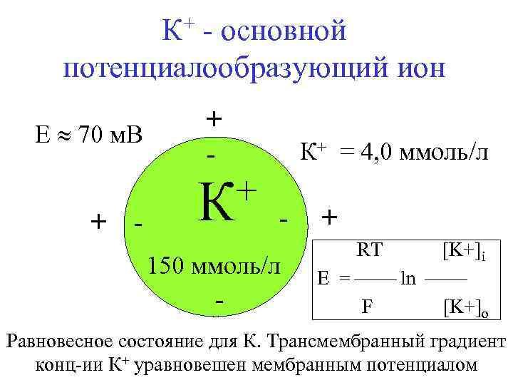 К+ - основной потенциалообразующий ион E 70 м. В + - + К К+
