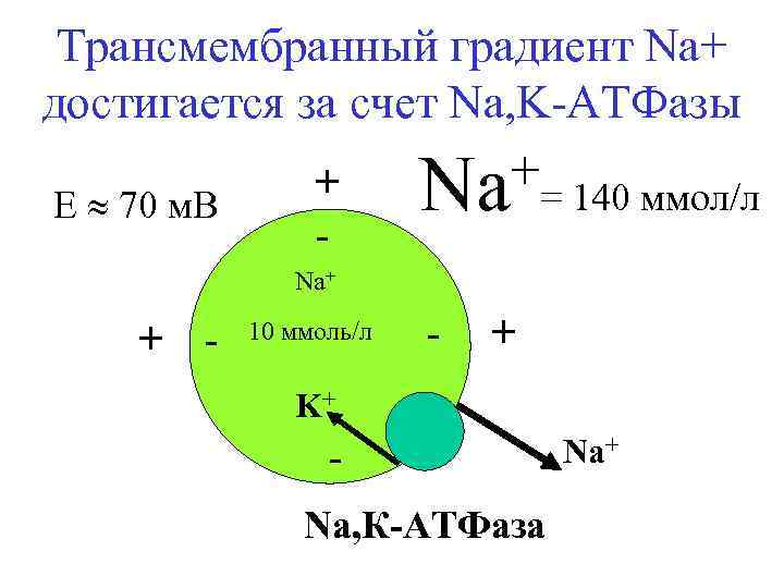 Трансмембранный градиент Na+ достигается за счет Na, K-АТФазы E 70 м. В + -