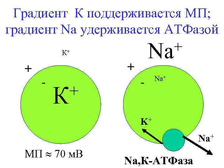 Градиент К поддерживается МП; градиент Na удерживается АТФазой К+ + + - + К