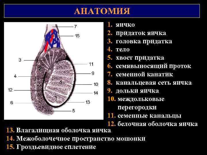 АНАТОМИЯ 1. яичко 2. придаток яичка 3. головка придатка 4. тело 5. хвост придатка