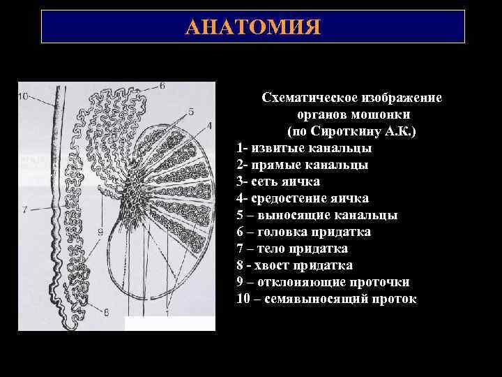 АНАТОМИЯ Схематическое изображение органов мошонки (по Сироткину А. К. ) 1 извитые канальцы 2