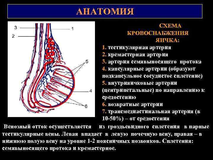 АНАТОМИЯ СХЕМА КРОВОСНАБЖЕНИЯ ЯИЧКА: 1. тестикулярная артерия 2. кремастерная артерия 3. артерия семявыносящего протока