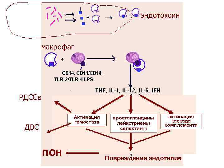 эндотоксин макрофаг РДССв Активация гемостаза ДВС ПОН простагландины лейкотриены селектины активация каскада комплемента Повреждение