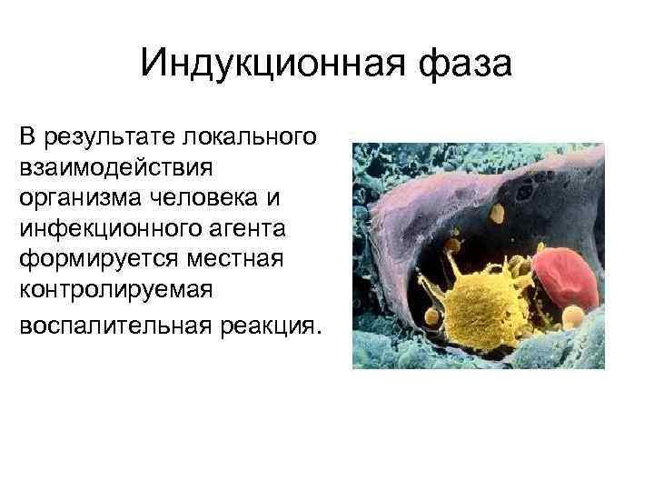 Индукционная фаза В результате локального взаимодействия организма человека и инфекционного агента формируется местная контролируемая