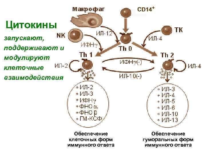 CD 14+ Цитокины запускают, поддерживают и модулируют клеточные взаимодействия Обеспечение клеточных форм иммунного ответа