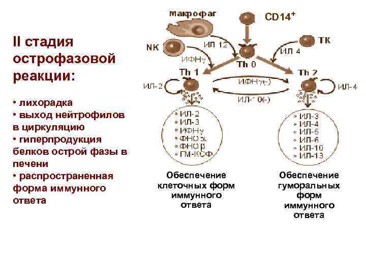 CD 14+ II стадия острофазовой реакции: • лихорадка • выход нейтрофилов в циркуляцию •