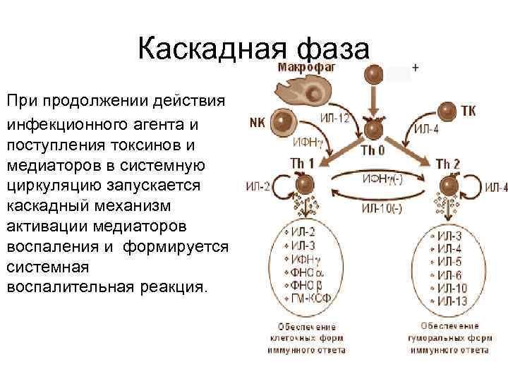 Каскадная фаза При продолжении действия инфекционного агента и поступления токсинов и медиаторов в системную