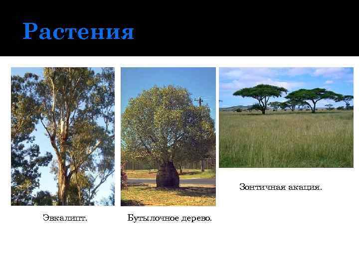 Растения Зонтичная акация. Эвкалипт. Бутылочное дерево.