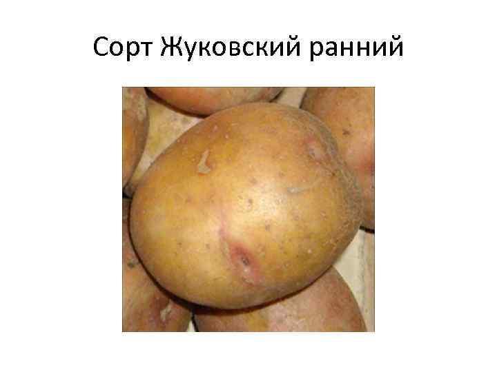 Сорт Жуковский ранний