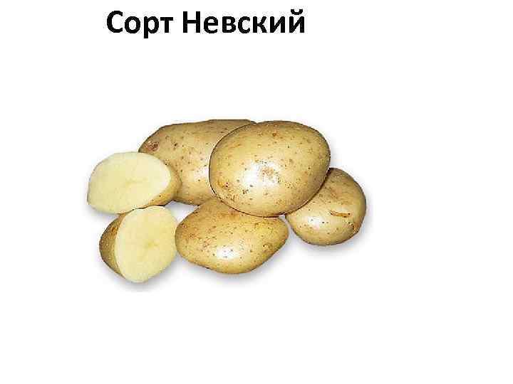 Сорт Невский