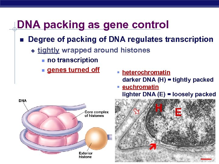 DNA packing as gene control Degree of packing of DNA regulates transcription u tightly