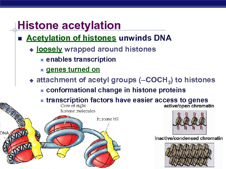 Histone acetylation Acetylation of histones unwinds DNA u loosely wrapped around histones u attachment