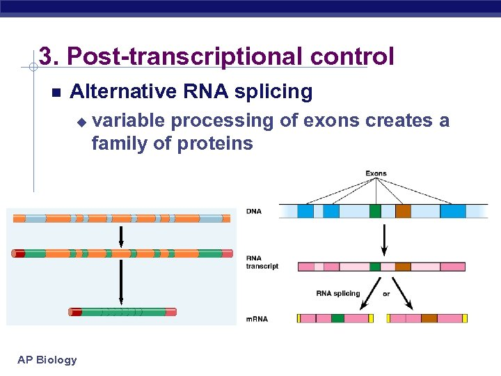 3. Post-transcriptional control Alternative RNA splicing u AP Biology variable processing of exons creates
