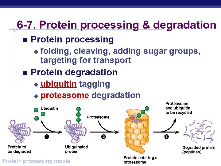 6 -7. Protein processing & degradation Protein processing u folding, cleaving, adding sugar groups,