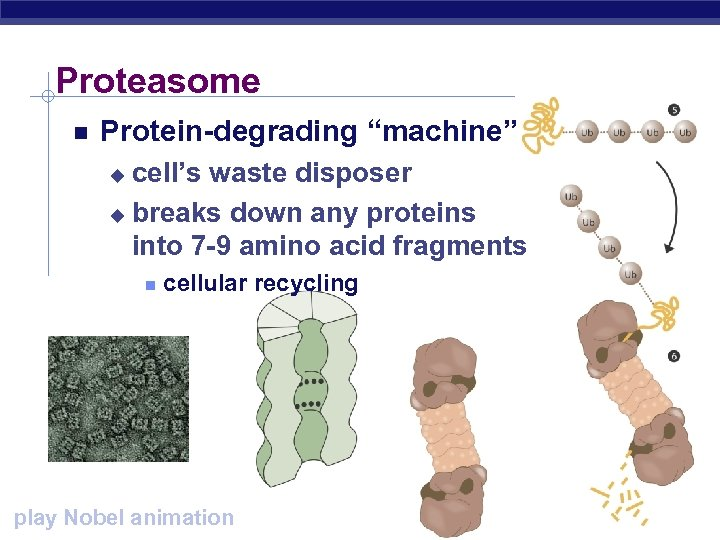 "Proteasome Protein-degrading ""machine"" cell's waste disposer u breaks down any proteins into 7 -9"