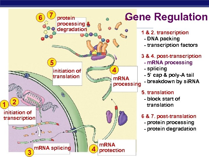 6 7 Gene Regulation protein processing & degradation 1 & 2. transcription - DNA